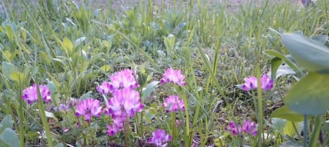 田植え前の田んぼ、れんげ草がきれいです。