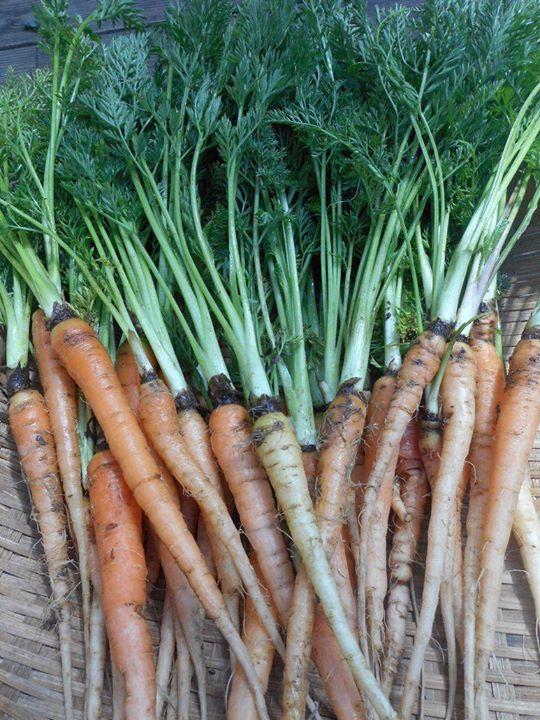 フランスの伝統野菜のニンジン