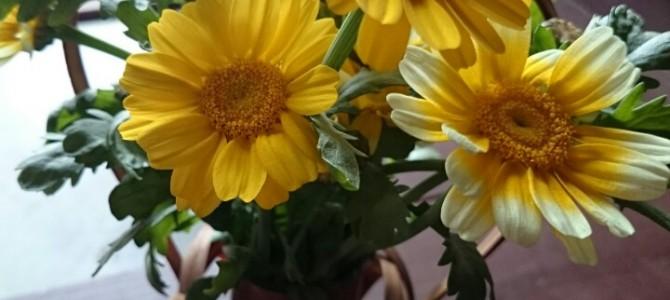 春菊の花。 とてもゴージャスです。