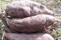 パープルスイートロード(紫芋)<br/> Purple Sweet Potato