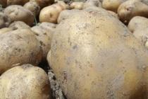 キタアカリ(ジャガイモ)<br/> Kitaakari, Potato