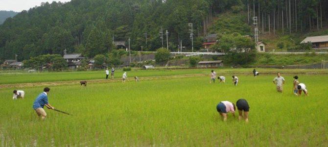 京大のインターナショナルな留学生さん、学生さん、田んぼの草取り体験していただきました