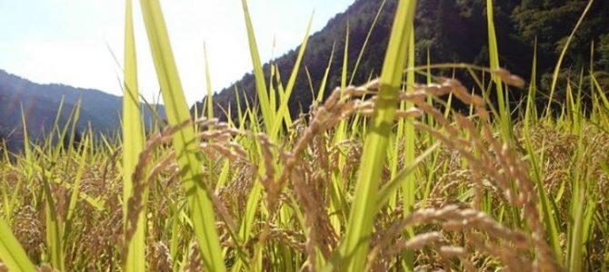 稲刈りももうすぐ。キラキラ、金色に光っています。
