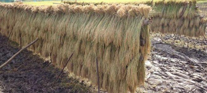 手刈りの田んぼ、やっと稲刈り終了しました!