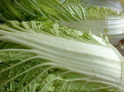 白菜たち、無事ここまで大きくなってくれて、感無量。
