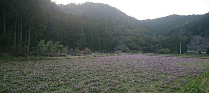 レンゲ色に染まった田んぼ。 田植えも間近です。