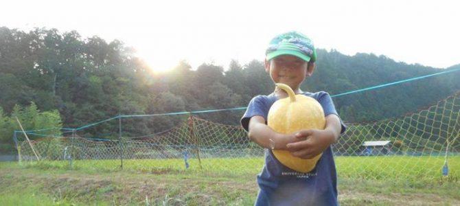 かぼちゃ、収穫。