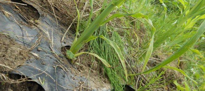 トウモロコシと祇園豆。
