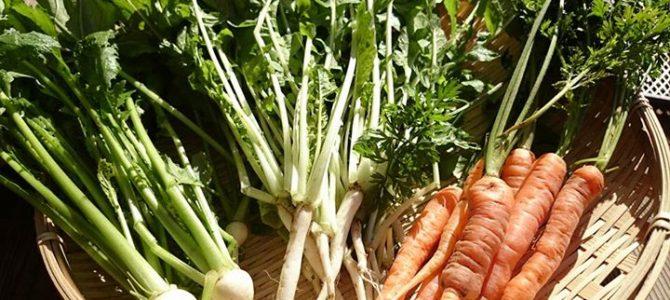 伝統野菜のヤングリーフ、やっと食べられるまでに成長しました。定期便でお届け中です!
