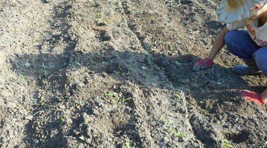 大根、かぶらなどの秋冬野菜、ひたすら種まきです。