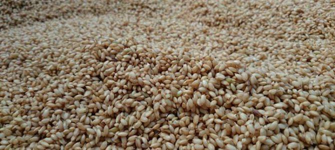 種籾準備中。 お米から、芽が出ています。