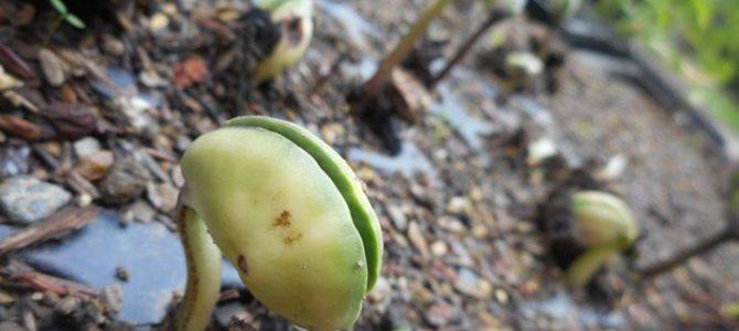 黒豆の芽が出ました。