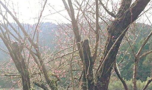 梅の木に花が咲いています。