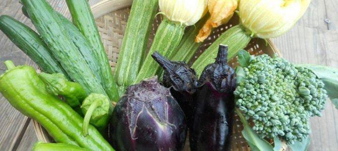 夏野菜、どんどんとれだしています。