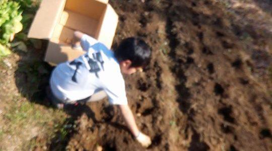 もくもくとジャガイモを植える