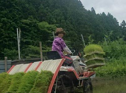 農女子、田植えしています。