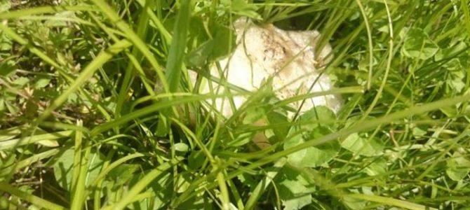 田んぼの畦に、カエルの卵発見!