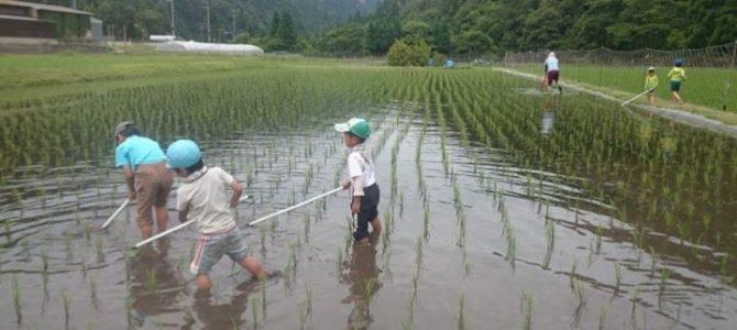田んぼオーナープログラム:草取り第一回目が終了しました。