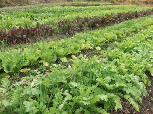 Many varieties of brassica winter veggies
